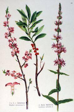 img/gravures anciennes de fleurs/gravure couleur ancienne de fleur - Daphne mezereum; Lythrum salicaria.jpg