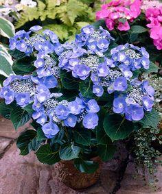 A je libo něco v barvě modré:  Hortenzie ´Teller Blue´ Hydrangea mac. ´Teller Blue´  Bujně rostoucí, široce rozvětvená hortenzie s plochými talířovými květy pokvete nejlépe v polostínu. Je ideální pro olemování cest, trávníku či schodiště. Dá se skvěle pěstovat i v květináči. Dbejte na pravidelnou zálivku a hnojení.  Stanoviště: polostín až stín.  Doba kvetení: červen - září.  Výška: asi 100 cm.