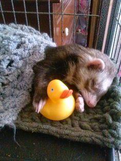 Sleeping ferret with rubber ducky - Hamsters Ferret Toys, Baby Ferrets, Funny Ferrets, Pet Ferret, Hamsters, Cute Little Animals, Cute Funny Animals, Animals And Pets, Baby Animals
