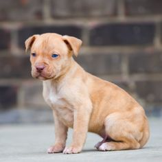 Red Nose Pitbull Puppies For Sale Red Nose Pitbull Puppies, Pitbull Puppies For Sale, Pitbull Terrier, Cute Puppies, Cute Dogs, Baby Pitbulls For Sale, Cute Animals, Funny Animals, Labrador Retriever