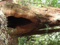 the great redwood... :) @Muirwoods