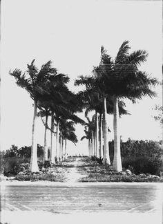 Avenue of Roystonea regia ~ Photographed near Biscayne Bay, Coconut Grove, Florida. April 1916.