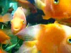 short video of goldfish swimming, can observe the fish using different fins