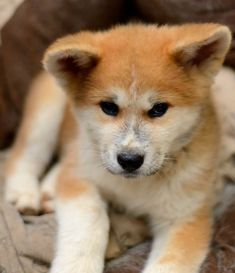 I'm just a poor boy, nobody loves me... Japanese American akita inu Puppy Dog Puppies Dogs