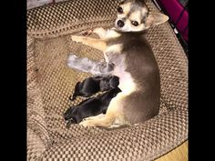 chihuahua mix - Dogs and Puppies, Rehome Buy and Sell in the UK and Ireland   Preloved