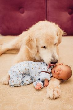 10 bonnes raisons de ne JAMAIS adopter un golden retriever ! #GoldenRetriever