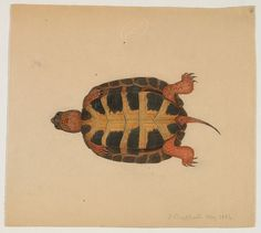 cinoh: scientificillustration: Turtle (bottom view) (May 1854) by The Ernst Mayr Library