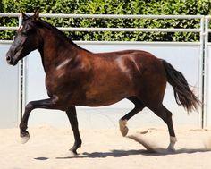 Costa Rican Saddle Horse mare Espiritu