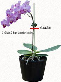 Orkide Nasıl Budanır?   Phaleonopsis Orkide Budama  Orkideler genellikle ölü kısımların çıkarılması, şekil verilme ve yeniden çiçeklendirm...