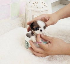 Adorable Super tiny Micro Shih tzu Baby Girl Available Miss Belina <3