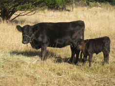 dexter cow with heifer calf Full grown dexter cows are only about 3 ft tall