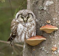 "/ Photo ""Tengmalm Owl (Aegolius funereus)"" by Tobias Svensson Owl Photos, Owl Pictures, Beautiful Owl, Animals Beautiful, Owl Bird, Pet Birds, Rapace Diurne, Wise Owl, Tier Fotos"