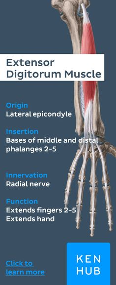 Extensor Digitorum (O): lateral epicondyle of Humerus (Ins): phalanges, digits (INV): Radial Nerve (Act): extends medial four digits, assist in wrist extension Extensor Muscles, Forearm Anatomy, Hand Anatomy, Anatomy Images, Sports Therapy, Musculoskeletal System, Muscular System, Human Anatomy And Physiology, Massage