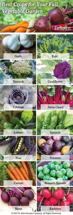 Best Crops for Your Fall Garden - Keep your garden growing into fall with these 14 cool-weather crops! Garlic, Kale, Broccoli, Cauliflower, Cabbage, Swiss Chard, Lettuce, Spinach, Peas, Potatoes, Carrots, Brussels Sprouts, Beets, and Radishes. Shop these and more at www.burpee.com