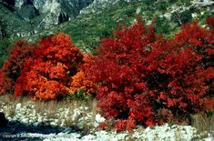 Big Tooth Maple | Acer grandidentatum (Food, cover for birds, mammals, deer; fall color) Full Sun, 30'