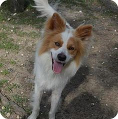 Facts about Mc Callum Breed: Sheltie, Shetland Sheepdog Mix Color: Unknown Age: Young Size: Med. 26-60 lbs (12-27 kg) Sex: Male ID#: 8616614-EO-05-19-14 Mc Callum's Info... I am already neutered and up to date with shots.  Mc Callum's Story... Mc Callum is a handsome and friendly fellow who was found as a stray. He has a microchip, but when we called the owner, she said it was not her dog. Like most herding dogs, he is quite alert. This boy loves to be petted. JPAS adoption fee is $67. Fee…