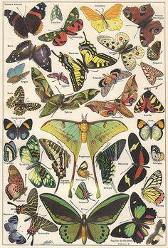 Papillons 1 - Larousse universel - 1922