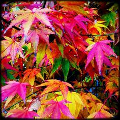 Japanese Maple Leaves. pink, green, yellow, orange, red. psychedelic.