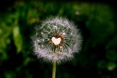 """""""The very nature of intelligence is sensitivity, and this sensitivity is love. J Krishnamurti Quotes, Jiddu Krishnamurti, Heart In Nature, 4 Wallpaper, Dandelion Wish, Dandelion Seeds, Make A Wish, Floral Bouquets, Belle Photo"""