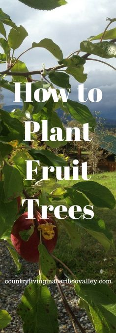 How to Plant Fruit Trees   Country Living in a Cariboo Valley