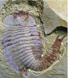 Recent discoveries in the Chengjiang fossil lagersträtte show that arthropods had already developed complex brains and optics by the early Cambrian, adding yet more evidence supporting a cryptic but substantial period of evolution and differentiation in the late Neoproterozoic. Shown here is Fuxianhuia.