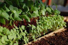Moestuinkalender mei. In mei kan er nog goed gezaaid worden. De zaden die in maart en april zijn gezaaid, zorgen nu voor een groen tapijt. Je kunt goed  zien waar de gaten zitten, die je met nieuwe zaaisels kan vullen. Halverwege de maand mei is het tijd om te oogsten. De eerste bietjes en worteltjes zijn al oogstbaar. De  maanden werk vooraf, werpen nu hun vruchten af. Bekijk meer tips in onze moestuinkalender van mei #moestuin #kweken #moestuinkalender