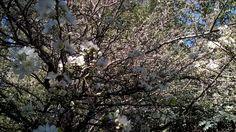 Cieruelo florecido en Achalay, tierra mojada