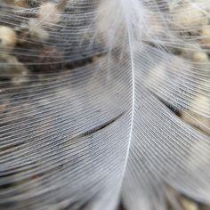 Fine feather, friend. #macro #olloclip #olloclipmacro #weeklymobilemacro