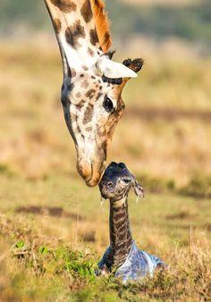 Newborn giraffe calf still in its amniotic sac.