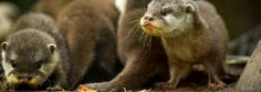 These five newborn otters got their first swim lesson from mom and dad. While it…