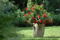 Ynde - Plante Dipladenia Nyt av Yndes blendende blomster gjennom hele sommeren og godt utover høsten. De vakre, blanke grønne bladene er flotte i kombinasjon med de trompetformede blomstene. Det eksotiske utseendet og den deilige duften gjør den helt spektakulær! Tiltrekker sommerfugler og bier. Denne planten krever en klatrestøtte.  Du får en rød, en hvit og en rosa med en limegrønn blomsterkrukke (diameter 30 cm)