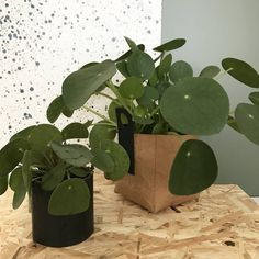 Are you interested in our trendy houseplant gift? With our Chinese Money Plant you need look no further.
