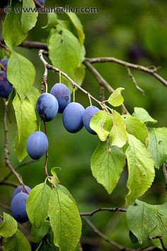 Plum Tree: Pictures, Images, Photos, Facts on Plums Growing Fruit Trees, Growing Tree, Blue Fruits, Plum Tree, Farm Photo, Delicious Fruit, Photo Tree, Edible Garden, Flower Images