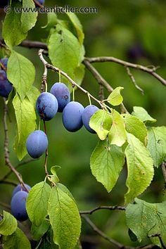 #plum tree - #susini