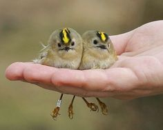 Kinglets. I swear these are real birds and not made-up, even if they do look too comical to be real.