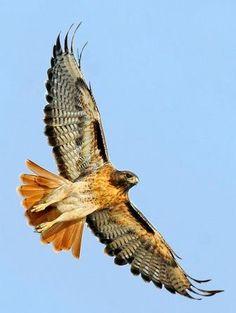 Red-tailed Hawk January The Wilds. Hawk Tattoo, Bird Of Prey Tattoo, Bird Tattoos, Falcon Hawk, Animal Medicine, Red Tailed Hawk, Desenho Tattoo, Bird Feathers, Red Tail Hawk Feathers
