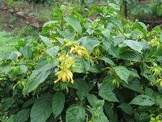 Ylang-ylang (Cananga odorata v. fruticosa)