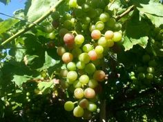 Chilean Table Grapes