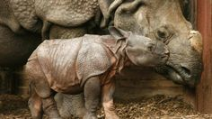 Indian rhinoceros baby with mother @ Nuremberg Tierpark (Timm Schamberger/AFP/Getty Images)