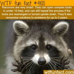 WTF Facts : funny, interesting & weird facts — How smart are Raccoons - WTF fun facts Wtf Fun Facts, True Facts, Funny Facts, Random Facts, Crazy Facts, Odd Facts, Movie Facts, Animals And Pets, Funny Animals