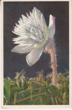 Stehli Postcard - 967 Anemone vernalis, Anémone printanière, Spring Anemone, Pelzanemone