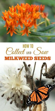 to Collect and Sow Milkweed Seeds (Asclepias) for Monarchs How to collect and sow milkweed Seeds for monarch butterfly habitat.How to collect and sow milkweed Seeds for monarch butterfly habitat. Butterfly Garden Plants, Planting Flowers, Flower Gardening, Butterfly Feeder, Flowering Plants, Flowers Garden, Permaculture, Monarch Butterfly Habitat, Milkweed Plant