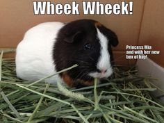 Guinea pig Mia enjoying her hay! Thanks goes to Helen for sharing!  If you've got a cute/funny picture you'd like to share, we'd love to see it!    Click ♥ http://smallpetselect.com/timothy-hay/ ♥ to spoil your piggies with the highest quality timothy hay delivered FRESH to your door! And don't forget to use coupon code ★PINTEREST★ for FREE SHIPPING!