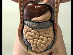 corpo umano: come funziona il sistema digerente