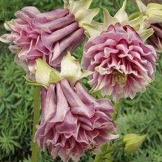 A Lot 100 Mixed Aquilegia (Columbine)Seeds,long bloom season, hardy flower, Beautiful ,DIY Home Garden Plant , *** Read more at the image link. #GardenSupplies