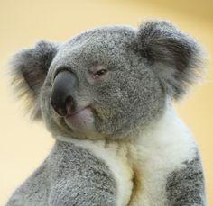 Koala no camera shy and pretent to be a model