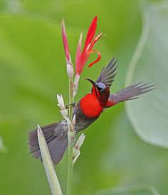 Crimson Sunbird by Sheau Torng Lim