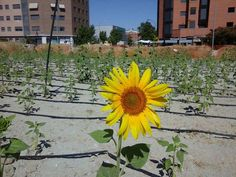 Plantar girasoles para hacer la ciudad más habitable   Yorokobu