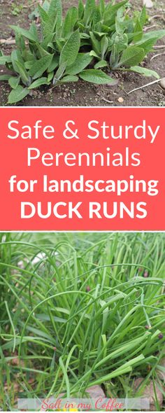 These are my favorite perennials for landscaping duck runs, because they're SAFE for ducks, and sturdy enough to survive all that trampling, nibbling, and dibbling! Backyard Ducks, Chickens Backyard, Backyard Poultry, What To Feed Ducks, Hatching Duck Eggs, Duck Enclosure, Duck House Plans, Keeping Ducks, Duck Pens