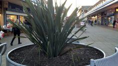 Yaka plant